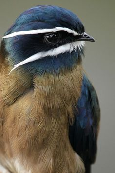 Whiskered Treeswift. #birds