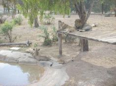 Friguia Park, Hammamet Picture: lion - Check out TripAdvisor members' 4,869 candid photos and videos of Friguia Park
