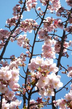 Atami cherry brossom