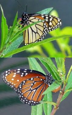 Can you tell the difference between a Monarch butterfly and a Queen butterfly? Click through to our blog where Jill tells you how!