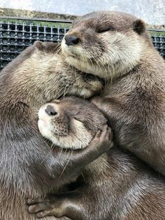Unique Animals, Animals And Pets, Funny Animals, Cute Kawaii Animals, Cute Little Animals, Baby Sea Otters, Animal Hugs, Otters Cute, Otter Love