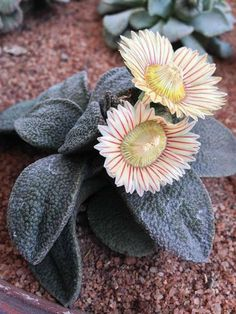 Aloinopsis rubrolineata is a low, multi-branching, mat-forming mesemb. It will eventually form large caudex in time. The leaves are thick...