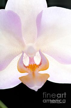 This photo of a beautiful white phalaenopsis orchid is one of my favorites…