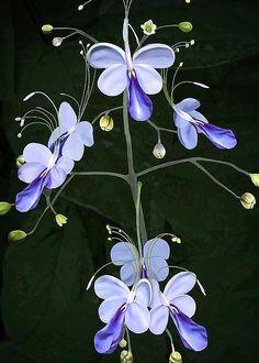 Blue Butterfly Clerodendrum by Joseph Vittek