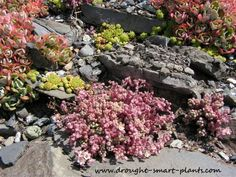 Soft colors and textures belie the toughness of hardy succulents - they'll grow (and thrive) even in gravel and among rocks...
