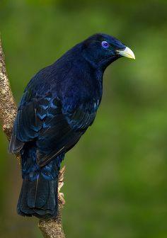 Satin Bowerbird (Chlamydera violaccus)