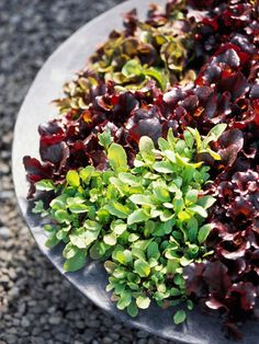Baby Greens  Harvest lettuce seedlings to make your own microgreens. You can sow seeds thickly in a row, then harvest excess seedlings when they need to be thinned and use them as baby lettuce greens in salads. The small, tender leaves are a gourmet treat.