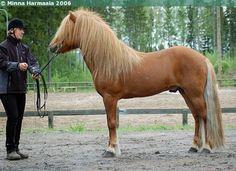 Icelandic Horse - stallion Fengur frá Súluholti