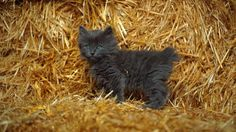 Bob Cats Manx kitten -(Credit: blickwinkel/Alamy Stock Photo) - Hailing from Britain's Isle of Man, the now internationally-popular Manx cat has a particularly odd trait: it lacks a tail Cute Kittens, Manx Kittens For Sale, Cats And Kittens, Black Kittens, Cats Meowing, Bobcat Pictures, Funny Animal Pictures, I Love Cats, Gatos
