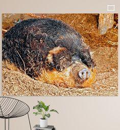 Schlafendes ungarisches  Wollschwein, die Augen mit den Ohren bedeck Amazing Photos, Cool Photos, Pigs, Illustration, Colors, Animals, Printing On Wood, Artist Canvas, Ears