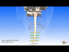 The spinal cord and spinal nerves Spinal Nerve, Spinal Cord, 3d Anatomy, Muscle, Youtube, Muscles, Youtubers, Youtube Movies