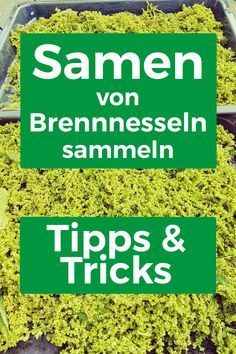 Brennnesselsamen sammeln - Tipps zur Ernte Since I have reached a lot of questions to collect the Ne Vegetable Garden Design, Garden Tools, Horse Riding Tips, Life Guide, Wild Edibles, Healing Herbs, Edible Garden, Amazing Gardens, Garden Plants