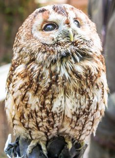 Tawny owl - Look into the sky and watch your dreams dancing there. If you can't see them, you have 2 choices: Get an imagination, or start dreaming.
