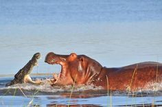 A crocodile and a hippopotamus lock jaws in a titanic battle in the Shire River, Liwonde National Park, Malawi. Reptiles, Crocodile Rock, Baby Hippo, All Gods Creatures, Sea Creatures, Pictures Of The Week, Hippopotamus, Animals Of The World, Animals