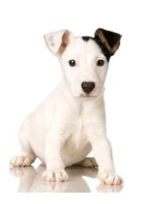 Fabbisogni Nutrizionali Cane · Jack Russell ...