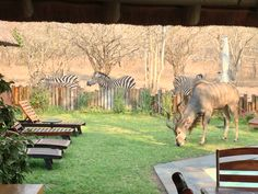 Kudu bull eating our lawn!