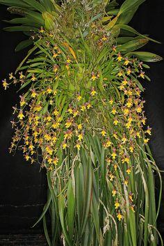 Orchid: Oncidium ghiesbrechtianum - Flickr - Photo Sharing!