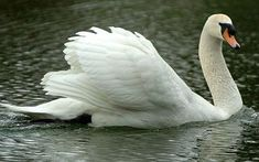 'Mr Asbo' the swan attacks unsuspecting rowers - Telegraph