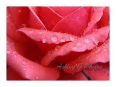 Instant Download rain drops on a Rose by AshleyGPhotos on Etsy