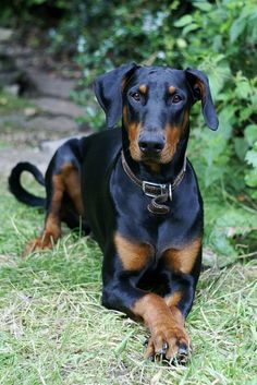 A beautiful black and tan Doberman Pinscher with natural ears laying on grass
