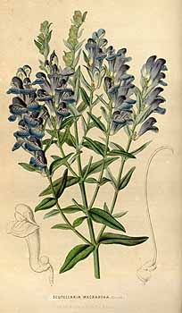 Scutellaria 黄芩属