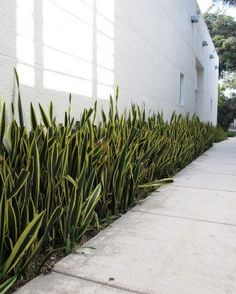 Sansevieria trifasciata is also commonly called the snake plant or the mother in law's tongue. It is a very tolerant indoor plant that it is easy to care Sansevieria Trifasciata, Sansevieria Plant, Mother In Law Plant, Mother In Law Tongue, Tropical Garden Design, Garden Landscape Design, Landscaping Plants, Front Yard Landscaping, Front Walkway