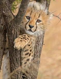 Cheetah Cub by Andy Rouse. Those black lines on either side of its nose look like the body of some amazing musical instrument - a cheetah lyre. Scary Animals, Animals And Pets, Cute Animals, Beautiful Cats, Animals Beautiful, Baby Cheetahs, Cheetah Cubs, Cat Stands, Baby Animals Pictures
