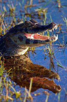 Caiman Alligator, Brazil -- by Trevor Cole
