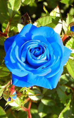 Rosa Azul Rosas Azules Pinterest Flowers Beautiful