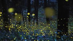 Learn about fireflies or lightning bugs, why fireflies glow, and how to attract them to your garden from The Old Farmer's Almanac.