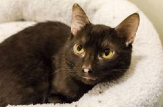 Robin is an adoptable Havana Cat in New York, NY If you're interested in adopting please call our Adoptions department at (212) 876-7700, ext. 4 ... ...Read more about me on @Petfinder.com.com.com.com.com