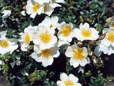 Vous rêvez d'un rosier blanc, jamais malade et qui se débrouille tout seul (ou presque...) ? La nouvelle gamme de rosiers Sans contraintes® est faite pour vous, et plus spécialement le superbe rosier 'Rose du Soleil ®'.