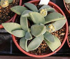 Aloinopsis peersii.jpg