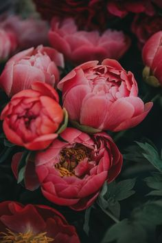 Fantastic Photos Peonies bloom de fleur Suggestions The peony is outrageously attractive in bloom from planting season in order to summer—using luxurious folia Nature Plants, Flowers Nature, Wild Flowers, Beautiful Flowers, Piones Flowers, Edible Flowers, Beautiful Things, Pot Pourri, Bloom