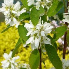 Amelanchier alnifolia 'Obelisk' (Amélanchier à feuilles d'aulne) Plant