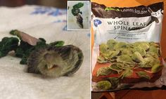 British shopper's shock at finding a RAT'S HEAD in bag of frozen spinach  ewww :P  http://www.dailymail.co.uk/news/article-2956991/Asda-customer-s-shock-finding-RAT-S-HEAD-bag-frozen-spinach.html
