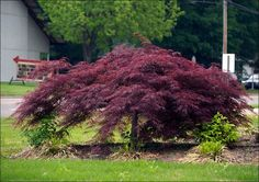 How to Grow a Japanese Maple. Japanese maples are beautiful to behold in a garden and growing them is reasonably straightforward. Choose a Japanese maple. Japenese Maple, Pruning Japanese Maples, Dwarf Trees, Purple Plants, Acer Palmatum, Shade Trees, Garden Shrubs, Hillside Landscaping, Landscaping Ideas