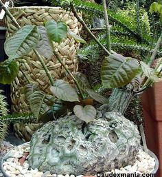 bombax elipticum caudex