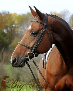 Selle Français by Kimberly Cook, via Warmblood Horses, France, Horse Saddles, Show Jumping, Dressage, Beautiful Horses, North America, Western Decor, Stables