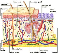 Integumentary System Facts | cross section of the skin. Structures ...