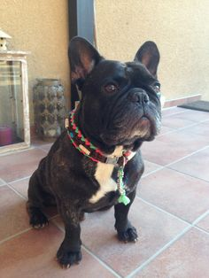 French Bulldog, the dailyfrenchie