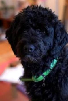 Portuguese Water Dog . How cute is he!