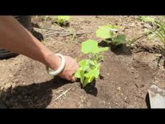 I have always wanted to grow a pumpkin patch. Here is a helpful video on how to do just that! Growing Squash, Pumpkin Squash, Diy Pumpkin, Japanese Beetles, Organic Gardening Tips, Vegetable Gardening, Organic Seeds, Garden Pests, Hobby Farms