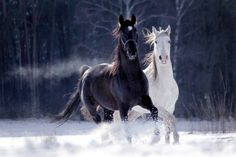 ♂ Black and White horses running - Irmas hästbilder - Horse Funny Horses, Cute Horses, Pretty Horses, Horse Love, Black Horses, Wild Horses, Horse Photos, Horse Pictures, Most Beautiful Horses