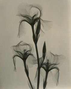 Dr. Dain L. Tasker, Fleur-de-lis, 1936 - gorgeous xray photographs of flowers from the 1930s
