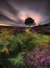 Moors of heather ~ North Yorkshire, England (photo by Ian Snowdon, Saltburn-by-the-sea, North Yorkshire, England)....