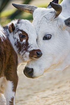 Zebu mother and calf