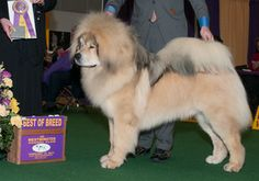 tibetan mastiff at westminster 2013 - Google Search- being beautiful