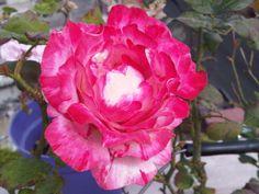 Las primeras rosas del invierno ya florean...