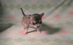 Dog GIFs Smallest Dog In The World